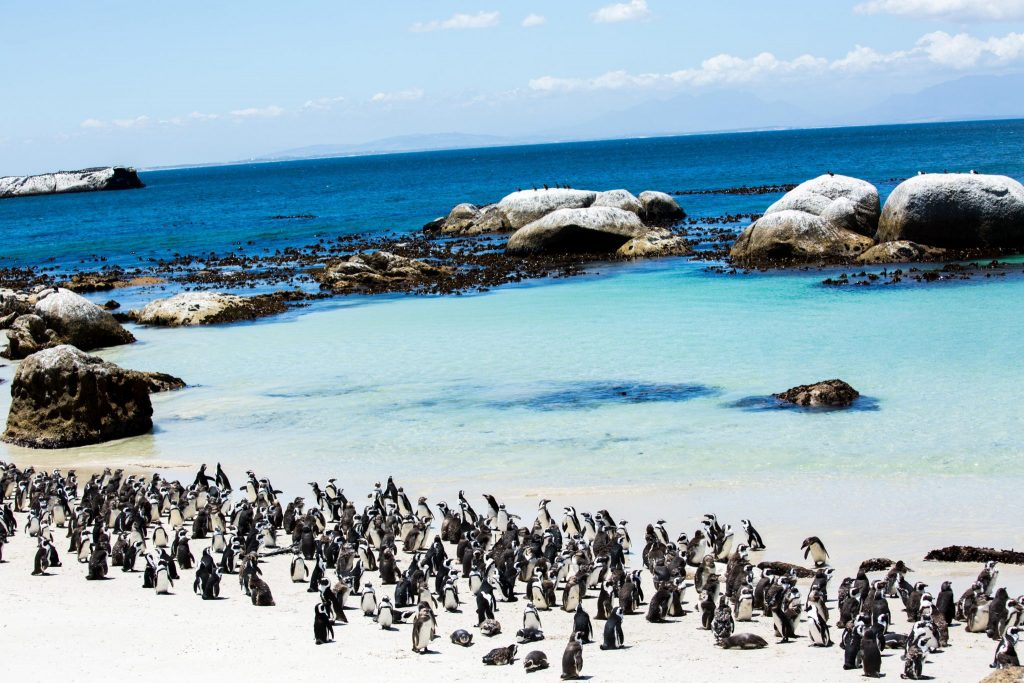 Pinguïns Boulders Beach Zuid-Afrika